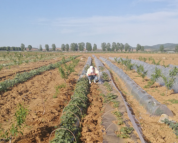 辽宁甜瓜种植助产增产