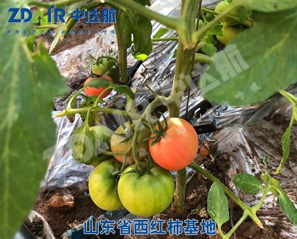 山东省西红柿基地