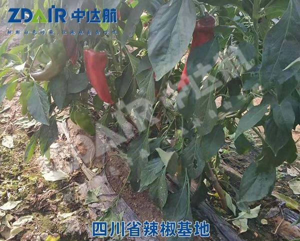 四川省辣椒基地