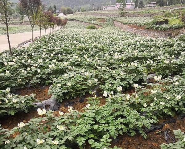 湖北马铃薯基地种植