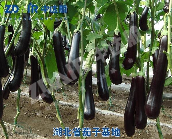 湖北省茄子基地