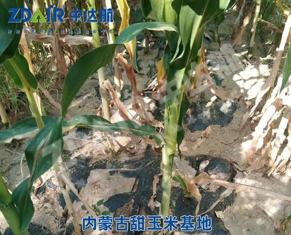 内蒙古甜玉米基地