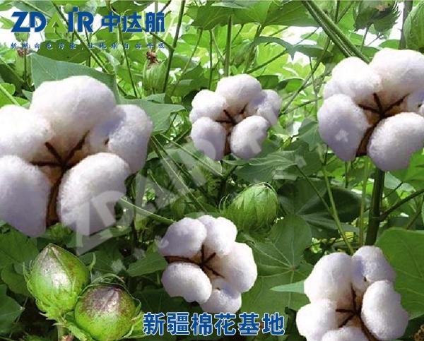 新疆棉花基地